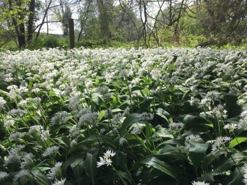 Wild Garlic Worcestershire Woodland Wellbeing Families
